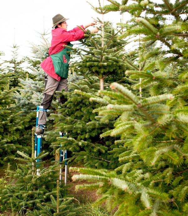 Weihnachtsbaume setzlinge kaufen