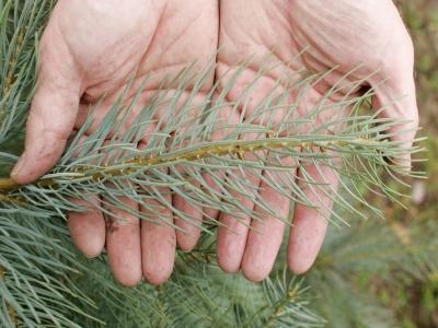 Weihnachtsbaum_Coloradotanna_auch_Silbertanne
